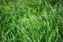 植物绿叶草坪草地