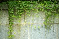 植物墙面藤蔓爬山虎
