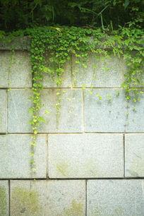 植物墙外藤蔓爬山虎