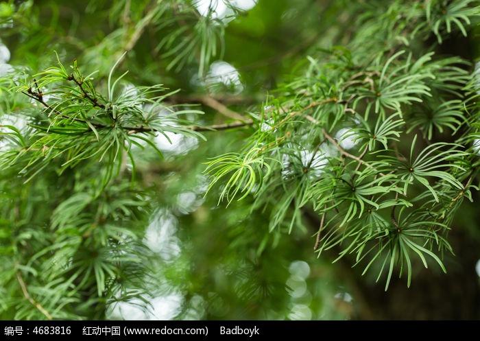 原创摄影图 动物植物 花卉花草 植物松针松树