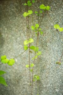 植物藤蔓绿叶爬山虎