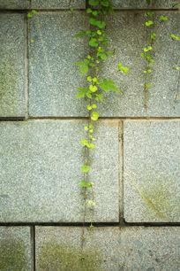 植物藤蔓爬墙爬山虎