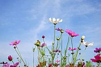 种植的波斯菊