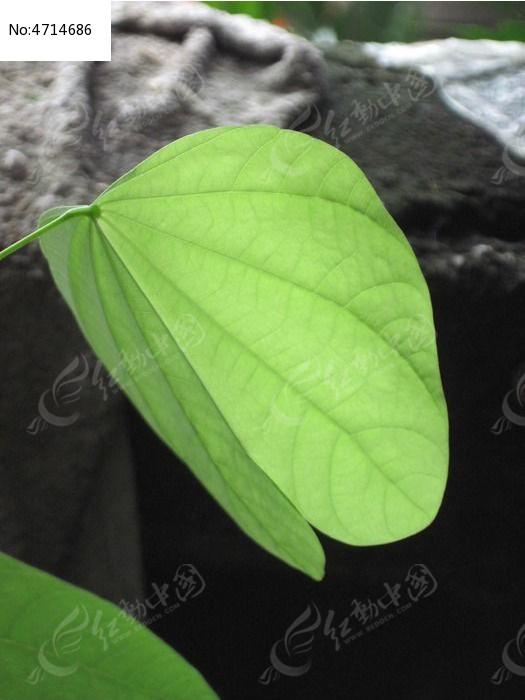 淡绿色叶子图片