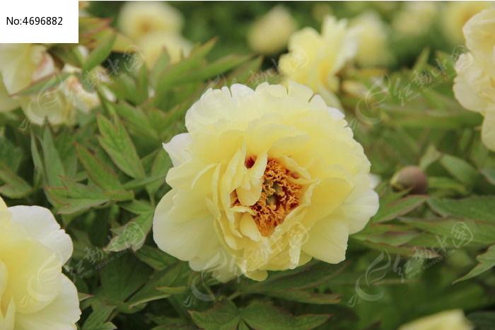 黄色牡丹 中国国花 绿色树叶