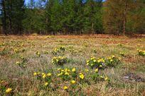 林中的北侧金盏花