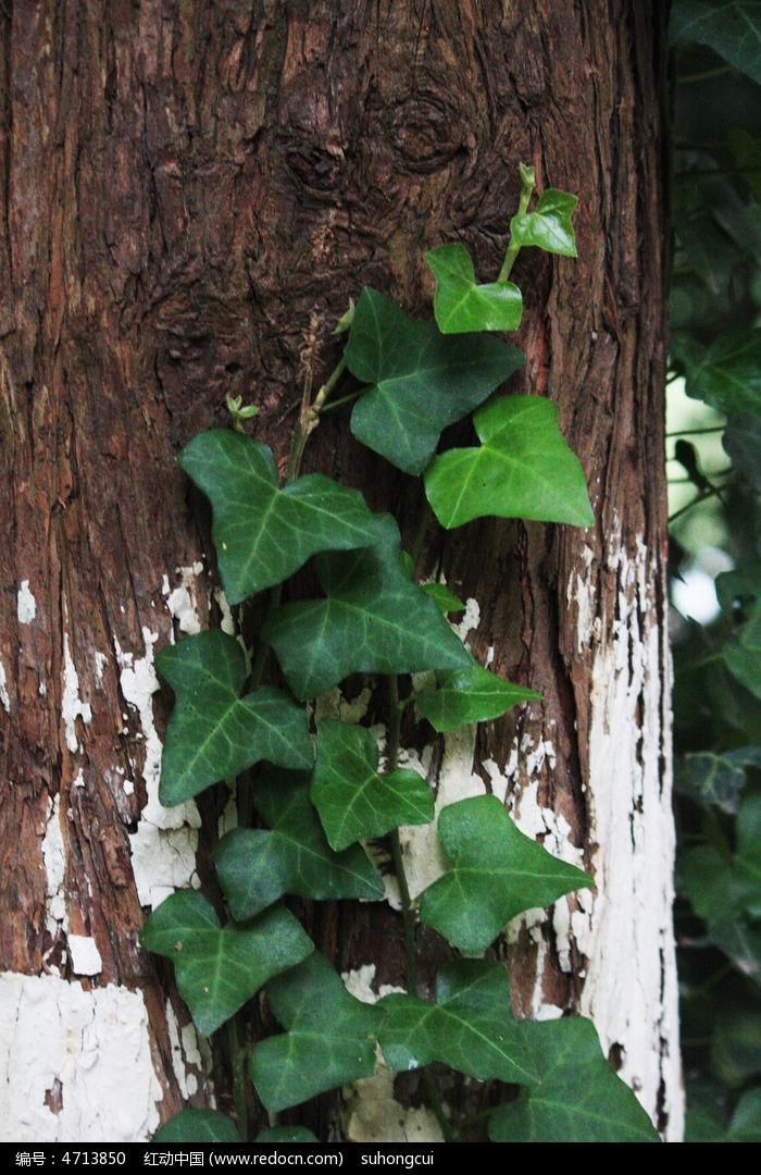原创摄影图 动物植物 花卉花草 爬山虎  请您分享: 红动网提供花卉