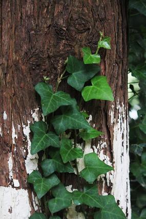 原创摄影图 动物植物 树木枝叶 爬山虎叶子