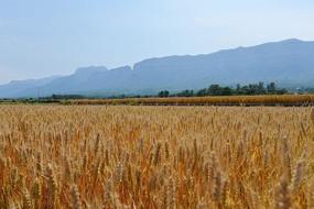 太行山下丰收在望的麦田