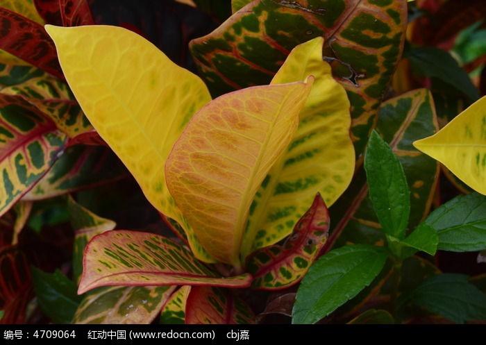 原创摄影图 动物植物 花卉花草 五彩斑斓的叶子  请您分享: 红动网