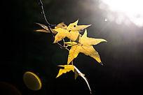 阳光照在五角枫叶上