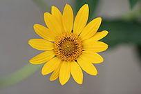 一朵黄色的小菊花