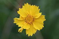 一朵漂亮的小菊花