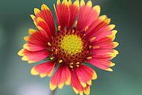 一朵盛开的小菊花