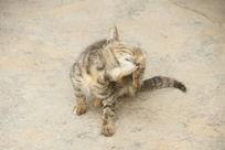 正在理毛的小猫