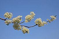 枝头上绽放的梨花