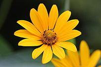 植物园中黄色的小菊花
