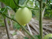 嫩嫩的农作物西红柿