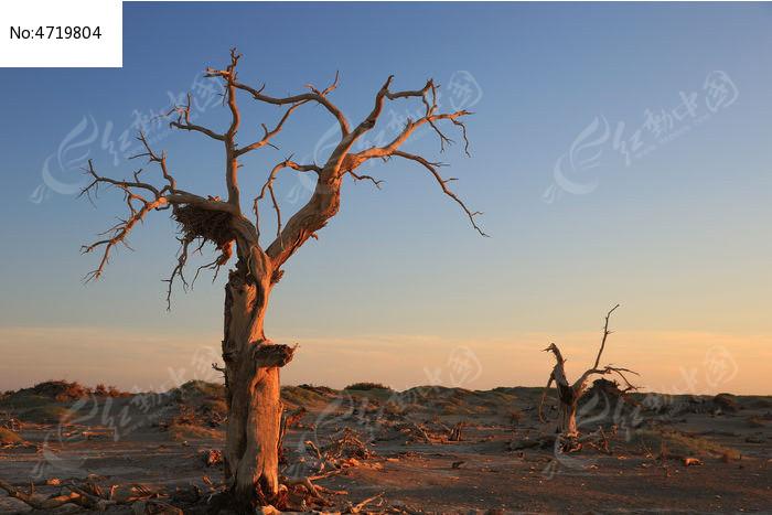 千年胡杨树图片,高清大图_森林树林素材