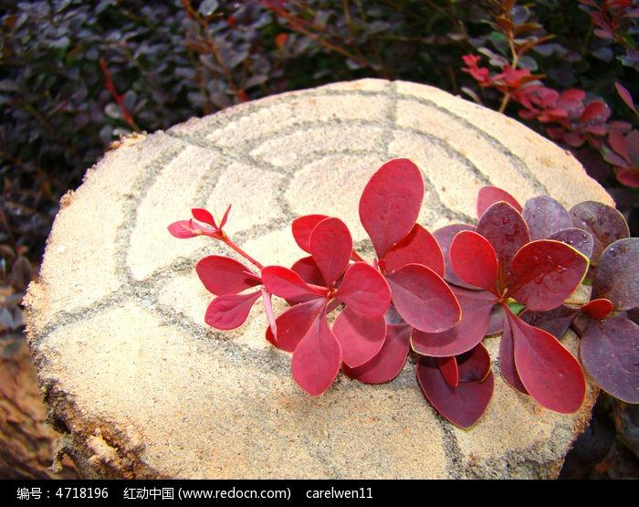 石头上的红色叶子