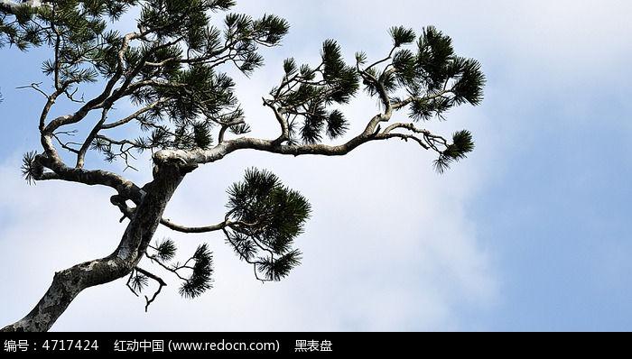 原创摄影图 动物植物 树木枝叶 水墨意境白皮松