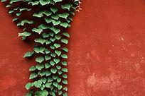 大红墙上的绿色爬墙虎背景素材