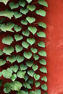 红墙上的绿色滕曼植物背景素材