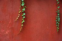 红色大墙上的绿色爬墙虎枝叶
