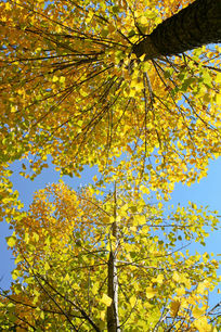 阳光下金黄色叶子的杨树