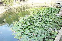 池塘和荷叶荷花