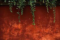 古建红墙上的滕曼绿色植物背景素材