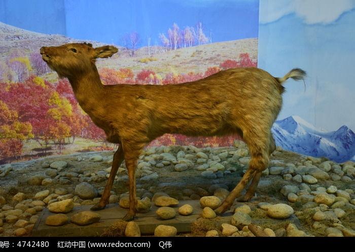 动物标本鹿图片,高清大图_艺术文化素材