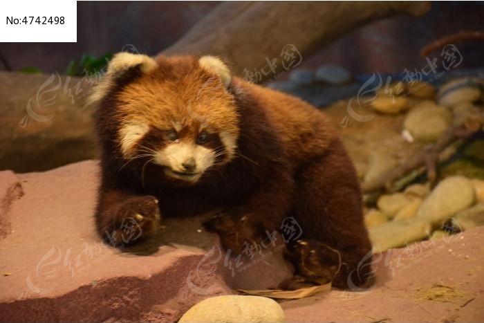 动物标本熊猫图片