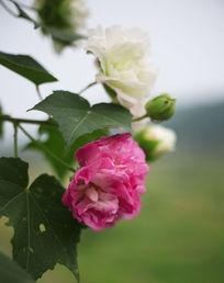 粉红两种花