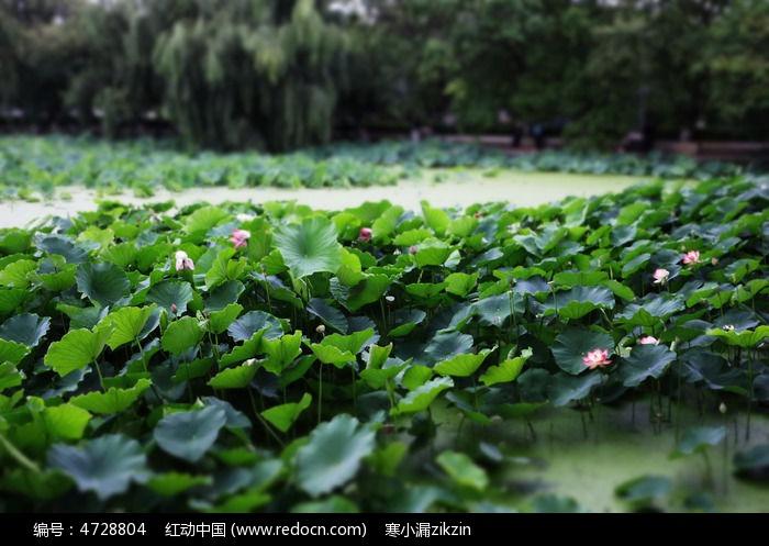 原创摄影图 动物植物 花卉花草 荷花塘的荷花开