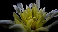 黑夜中盛开绽放的白色菊花