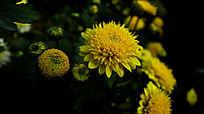 黑夜中盛开绽放的黄色菊花和花苞