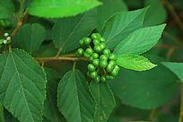 结满绿色豆子的植物