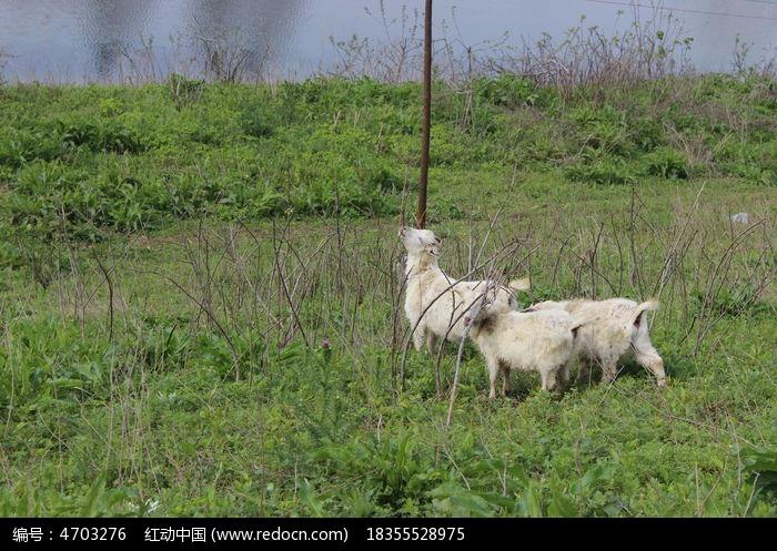 可爱的山羊图片