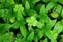绿色荷香枝叶背景