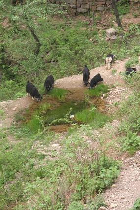 山坡上喝水的羊群