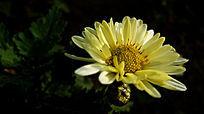 盛开绽放的白色菊花