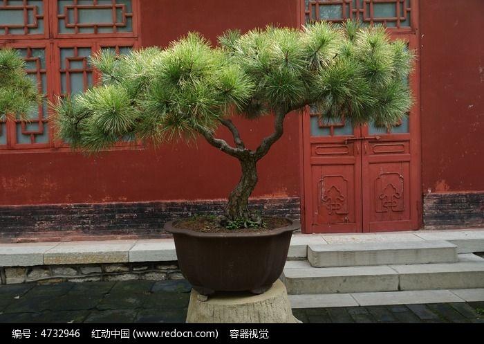 松树盆景盆栽高清拍摄图片,高清大图_农作物素材