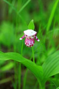 野生的斑花杓兰