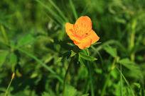 野生金莲花
