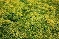 一片黄色的小花