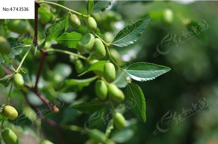 枣树摘心视频图解
