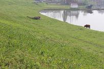 河边的老牛