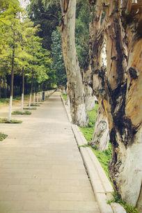 街道旁怀旧的老树