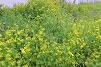 满地金黄色的花朵